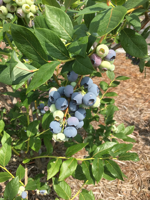 令和3年6月23日土曜日に、ブルーベリー園が開園します!